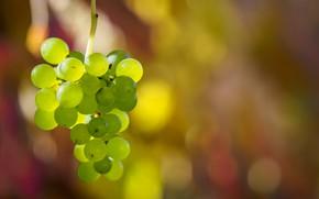 Картинка ягоды, урожай, виноград, гроздь