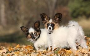 Картинка осень, собаки, листья