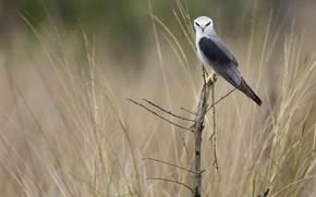 Картинка природа, птица, хвост, чернокрылый дымчатый коршун