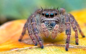 Картинка макро, фон, листик, джампер, мохнатый, членистоногие, прыгунчик, глаза, паучок, паук