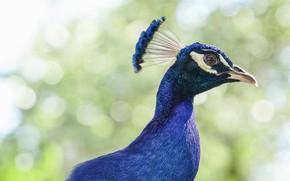 Картинка взгляд, птица, Павлин