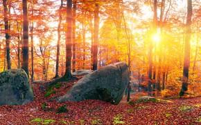 Картинка осень, лес, листья, солнце, лучи, деревья, камни, желтые, панорама, Украина, Закарпатье