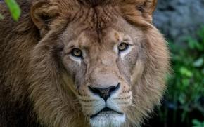 Картинка взгляд, морда, животное, лев