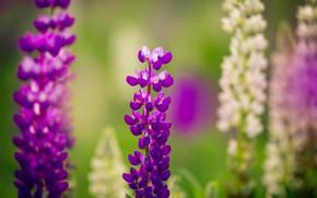 Картинка поле, лето, трава, цветы, люпин