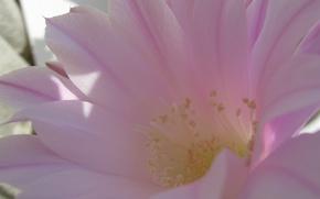 Картинка цветок, нежность, розовое чудо