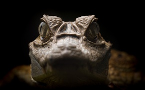 Картинка природа, Caiman crocodilus, Spectacled caiman