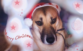 Картинка собака, взгляд, праздник, шапка