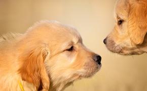 Обои собаки, фон, щенки, мордашки, Голден ретривер, Золотистый ретривер