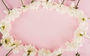 Картинка фон, Цветы, белые, хризантемы