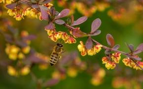 Картинка макро, пчела, ветка, насекомое, цветение, цветки, боке, барбарис