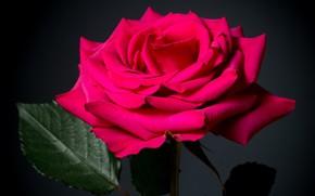 Картинка макро, роза, лепестки, малиновый