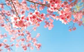 Картинка небо, ветки, весна, сакура, цветение, pink, blossom, sakura, cherry, spring, bloom