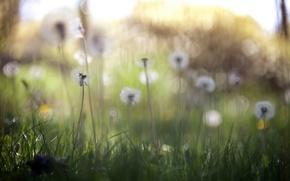 Картинка природа, весна, одуванчики
