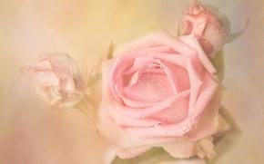 Картинка капли, цветы, роса, фон, роза, розы, светлый, бутон, дымка, бутоны, нежно, растворение, пастельные тона, художественная …