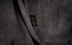 Картинка собака, голова, ткань