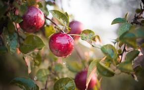 Картинка мокрый, яблоки, плоды, яблоня