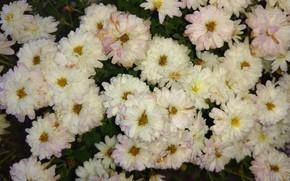 Картинка осень, белые, хризантемы, mamala ©