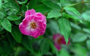 Картинка Роза, Куст, Цветение