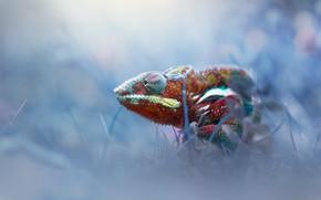 Картинка трава, хамелеон, ящерица, окрас, chameleon, chamaeleonidae