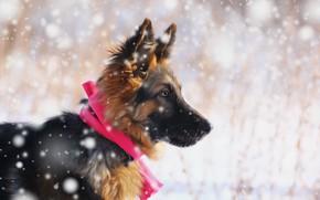Обои друг, немецкая овчарка, снег, щенок, взгляд