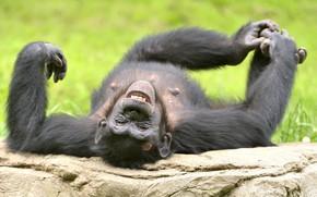 Картинка смех, смешной, шимпанзе