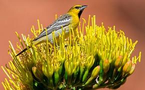 Обои птица, цветок, цветной трупиал Баллока, хвост, клюв
