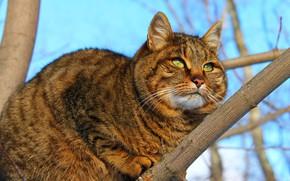 Картинка кошка, фон, зеленые глаза, пушистая кошка, кот обои, кошка на дереве, кошка сама по себе, …