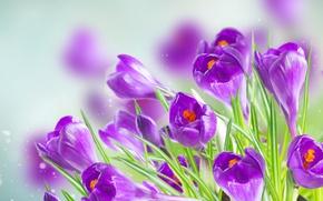Обои фон, фиолетовые, крокусы, боке, крупным планом