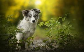 Картинка щенок, собачка, Alice, боке, Австралийская овчарка, Аусси