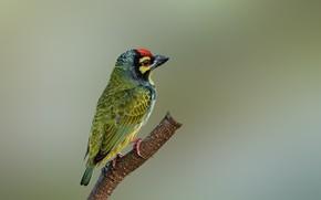 Картинка птицы, ветка, красноголовый бородастик