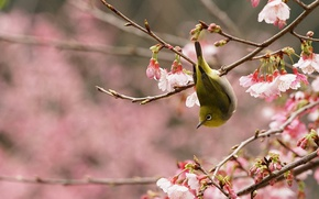 Картинка птица, ветка, весна, сад, сакура, цветение, японская белоглазка