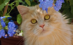 Картинка кот, взгляд, цветы, портрет, рыжий