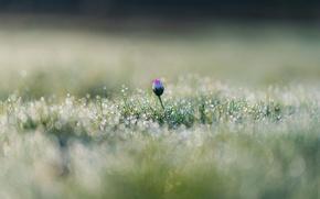 Картинка цветок, трава, капли, макро, роса, блики, боке