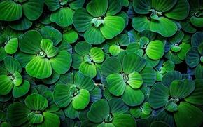 Картинка зелень, макро, листва, ростения