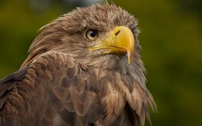 Обои птицы, хищник, клюв, орлан-белохвост