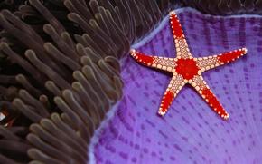 Картинка море, природа, звезда, Борнео, Necklace sea star, Сипадан