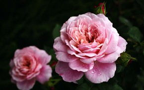Картинка капли, макро, роса, роза, бутон