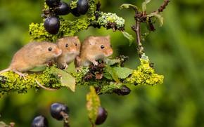 Картинка Harvest Mouse, мышки, трио, фон, Мышь-малютка, ветка, троица