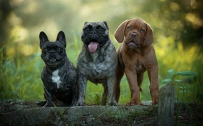 Обои язык, собаки, лето, природа, щенки, щенок, друзья, забавные, боке, мордашки, троица