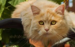 Картинка кот, взгляд, портрет, рыжий кот