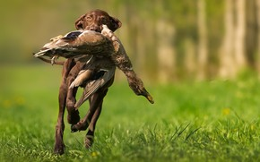 Картинка птица, собака, охота
