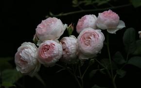 Картинка цветы, розы, лепестки, черный фон, бутоны, flowers, petals, roses, black background, buds