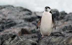Обои rocks, Antarctica, relaxing, penguin