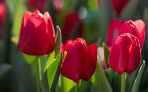 Картинка цветы, весна, тюльпаны, красные, бутоны, зеленый фон