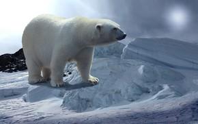 Картинка снег, стоит, Белый Медведь