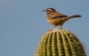 Картинка птица, кактус, хвост, обыкновенный кактусовый крапивник