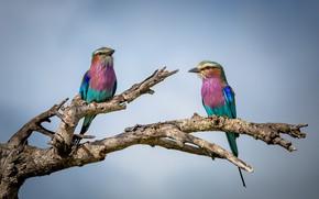 Обои фон, ветка, птицы, Сиреневогрудая сизоворонка, пара