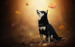 Картинка осень, листья, собака, Хаски