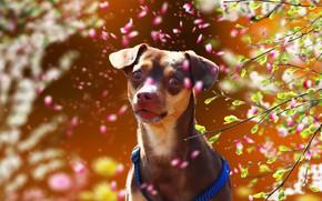 Картинка лето, друг, собака, той терьер