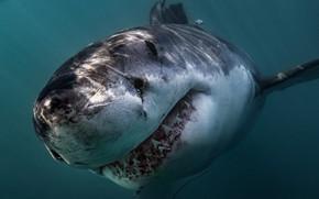 Картинка ocean, predator, Great White Shark